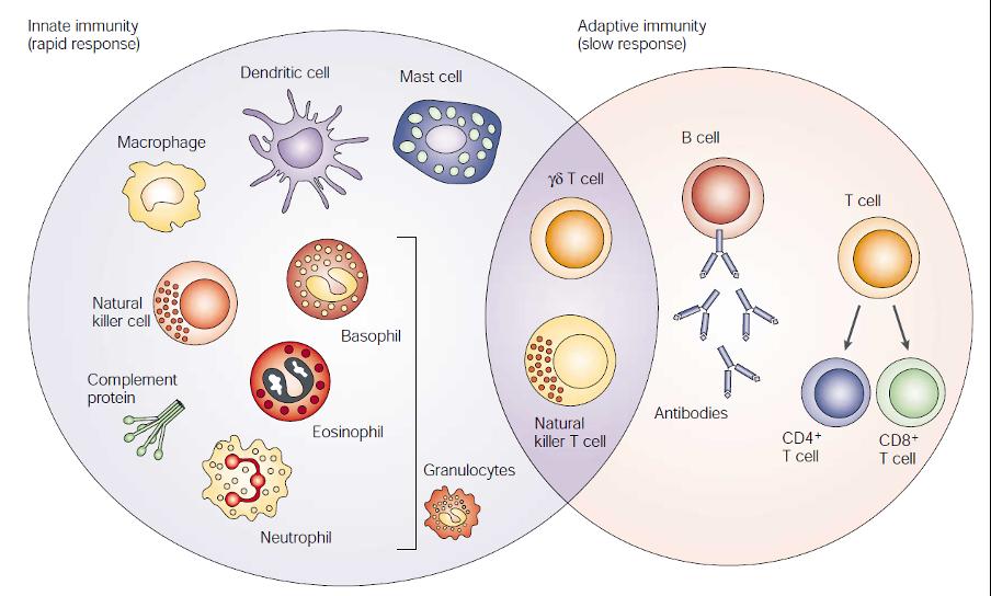 Innate imunity cells and adaptive immunity cells